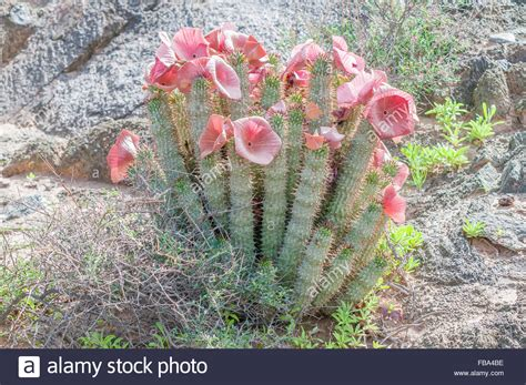 south africa hoodia gordonii picture 5