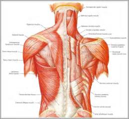 low back muscle charts psoasis muscle picture 2