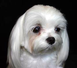 maltese dog and skin problems picture 7
