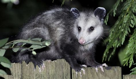 pictures of opossum h picture 14
