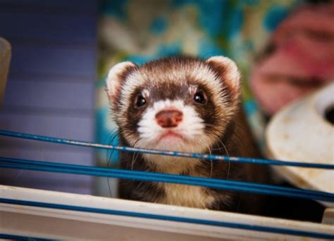 ferret digestion picture 15