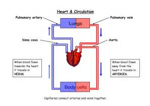 blood flow diagram picture 3