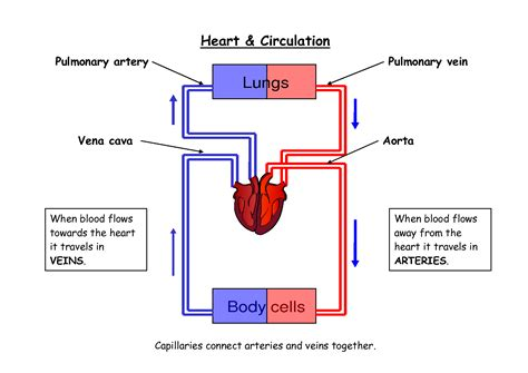 diagram of blood flow picture 1
