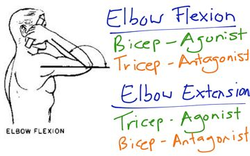a list of muscle agonist and antagonist picture 4