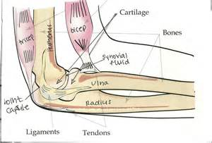 joint anatomy picture 9