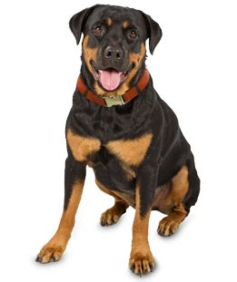 aging care for rottweilers picture 18