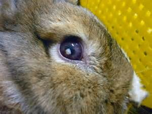 eye infection bacterial rabbit picture 3