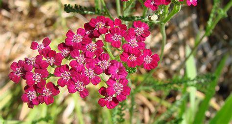 yarrow flower picture 17