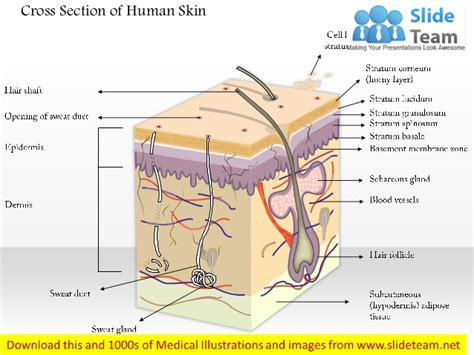 cross section of human skin picture 1