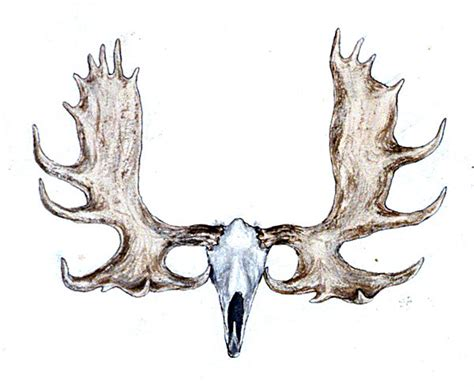 legal antler size in n.h. picture 2