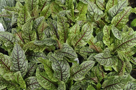 purchase red sorrel picture 3