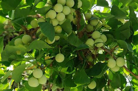 ginkgo tree facts picture 13