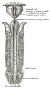 size of male external urethral orifice picture 1