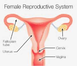 side effects of ovary glandular picture 5