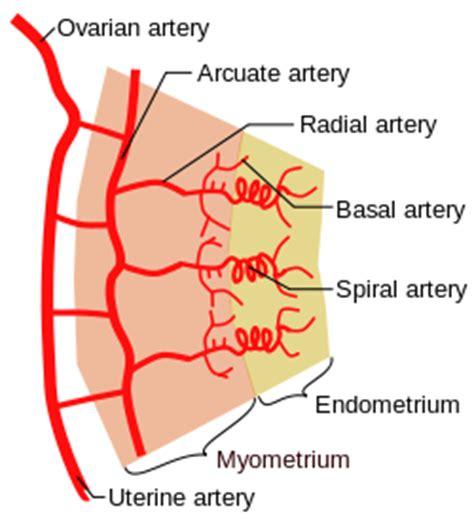 blood flow in uterus picture 10