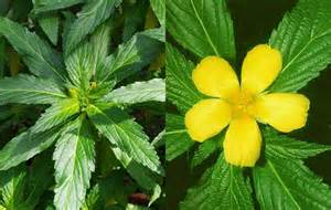 buy damiana in the philippines picture 3