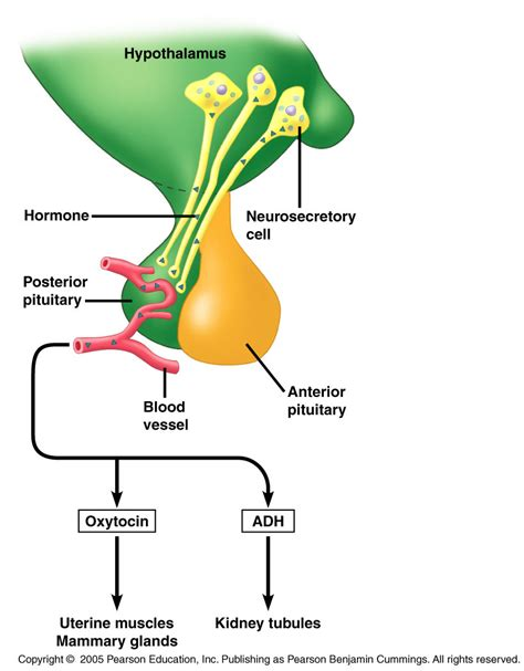 anterior pituitary picture 15