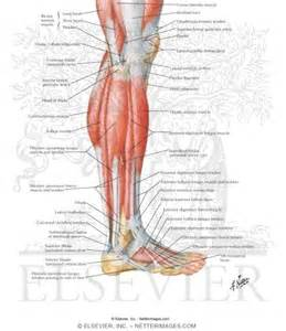 lateral lower leg muscle picture 3