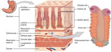 diagram of longitudinal muscle layer picture 3