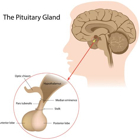 anterior pituitary gland picture 9