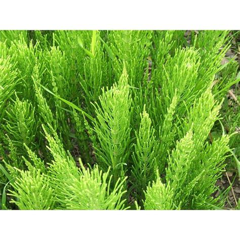 horsetail silica, does it help hair picture 8