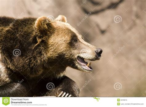 grizzly teeth picture 9