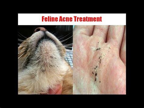 feline acne treatment picture 2