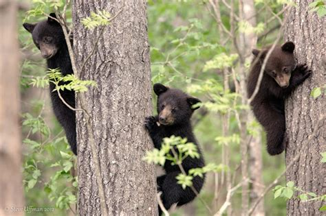 adirondack black bear sleep habits in spring picture 11