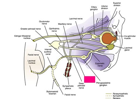 ciliary muscle and trigeminal pain picture 11