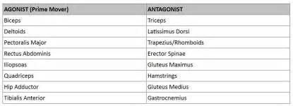 muscle agonist and antagonist list picture 3
