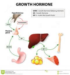 what stimulates secretion of hgh picture 2