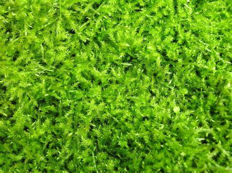 white irish moss picture 10