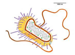 bacterial picture 13