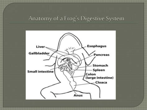 frog digestion picture 15