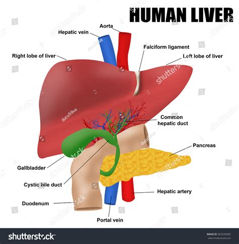 anatomy human liver picture 6