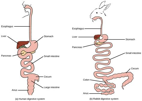compare and contrast rabbit gastrointestinal system picture 2