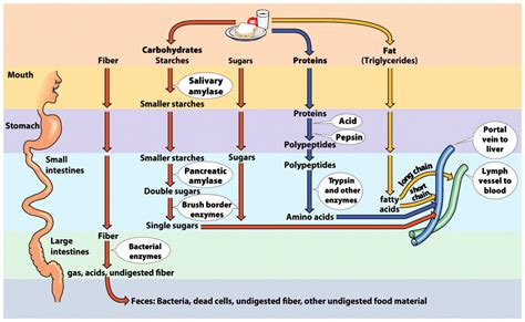 digestion and metabolism picture 8