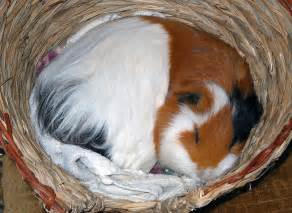 guinea pigs put to sleep picture 1