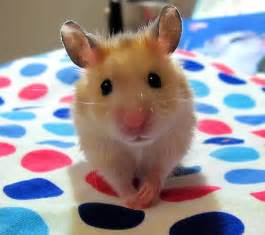 short hair hamsters picture 13
