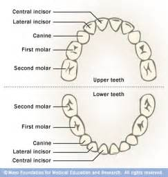 diagram of teeth picture 5