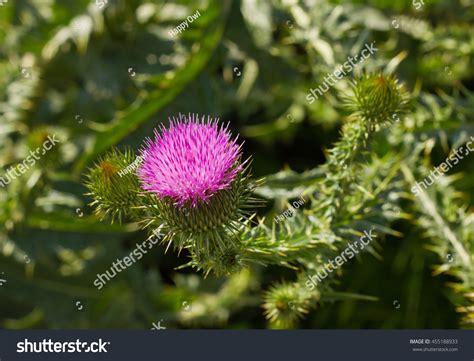 damo maria herbal plants picture 7