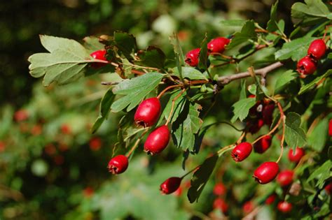 hawthorn berry picture 5