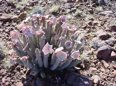 looking for information on hoodia picture 2