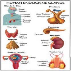endocrine gland picture 1