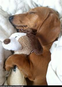dachshund sleeping s picture 1