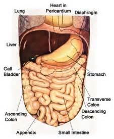 digestion appendix picture 11