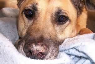 dog skin health picture 18