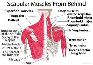 losing muscle between your shoulder joints picture 1