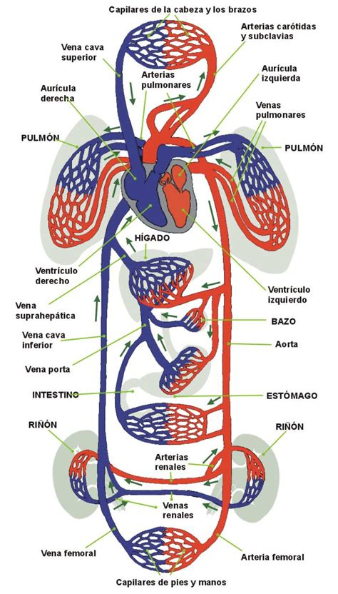 blood and circulation picture 3