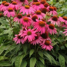 echinacea purp praire splendor picture 3